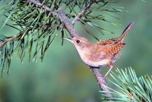 La Semilla Líder del pájaro por Wrens