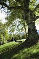 Cómo encontrar la edad de un árbol que está vivo?