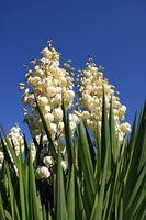 Cuando a Trim Yucca Flores