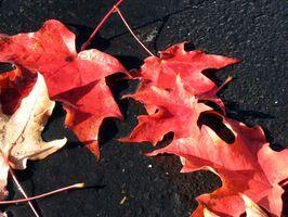 ¿Por qué se caen las hojas de los árboles antes de Invierno?