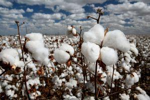 Cómo cultivar algodón de una semilla