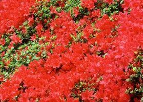 ¿Qué tipos de azaleas Bloom varias veces al año?
