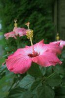 Cómo germinar semillas de hibisco
