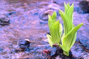 Helleborus es tóxico?