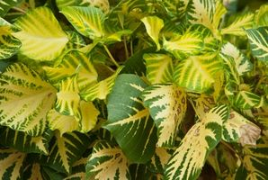 Las ventajas de una planta real a través de una artificial