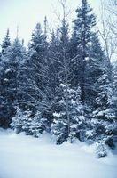 ¿A qué velocidad crece el árbol de abeto blanco en un año?