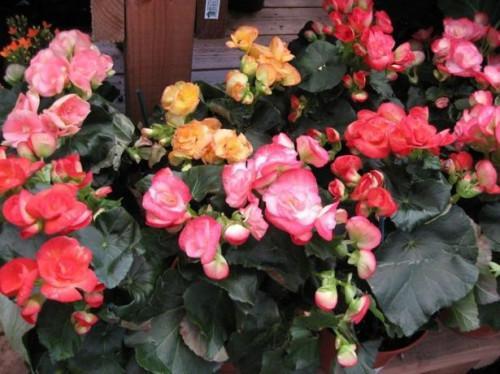 Partes de una flor Begonia