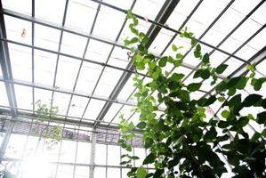 La mejor temperatura para crecer Vanilla planifolia