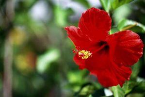 Las manchas de color rojizo en las hojas del hibisco