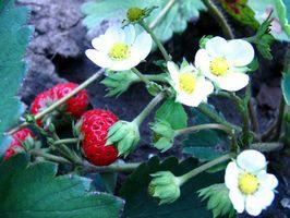 Cómo proteger las plantas de fresa A partir de los Critters
