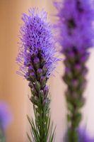 Propagación de Liatris Spicata para las flores cortadas