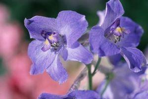 Violetas y Malezas de hoja ancha