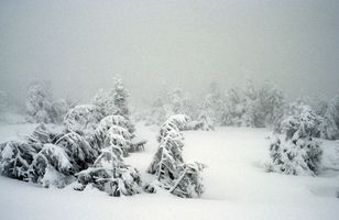 Picea enana Arbustos
