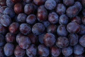 Una ciruela Damson que no producirán la fruta