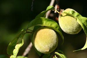 Cómo podar los árboles de durazno joven