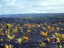 Las plantas que crecen en las rocas de lava