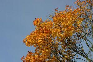 Resistente a la sequía del arce rojo de árboles