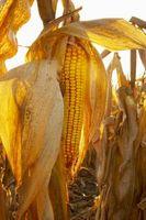 Cuando aplicar gluten de maíz a un césped