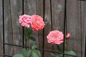 Cómo: Rosas que suben en las cercas