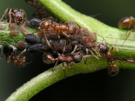 Herbal Ant Repelente de plantas en macetas