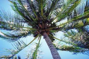 Localización de las palmeras del coco