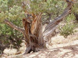 Cómo cortar las ramas de un árbol de cedro