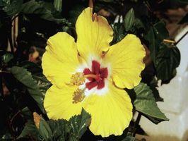 Cómo invierno Un hibisco tropical