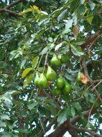 ¿Cuándo los árboles de aguacate dar fruto?