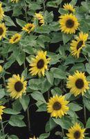 ¿Qué reacciones qué las plantas tienen de Sol?