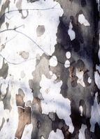 Como paisaje de los árboles Bajo Sycamore