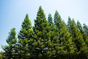 Diferentes tipos de árboles de pino en California