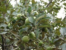 Cómo podar los árboles de Apple en California