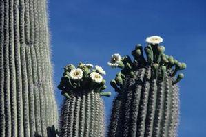 Tipos de flores que crecen en Arizona