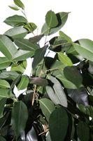 Curling Hojas en un Ficus benjamina