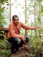 Mi Planta de tomate de las floraciones están muriendo
