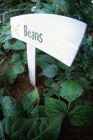 El pH del agua y el crecimiento de plantas de frijol