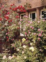 Zona 8: Crecimiento Rápido rosas trepadoras y sombra parcial