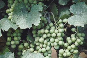 Cómo elegir ubicaciones de plantación de uva