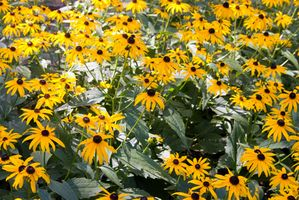 Cómo plantar Rudbeckia Flores en un jardín de verduras