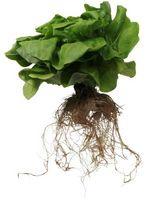 Las plantas con raíces verticales