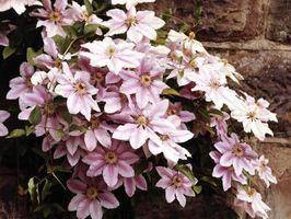 Cómo obtener su jardín de flores del Clematis a florecer