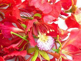 Lo que hay que saber sobre el Establecimiento de una planta real de Poinciana