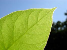 ¿Por qué las plantas verdes necesitan luz solar para realizar la fotosíntesis?