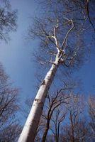 Una guía para el árbol de abedul Plagas y Enfermedades