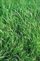 Cómo plantar semillas de pasto