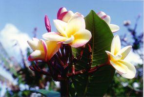 Las plantas de jardín Honolulu