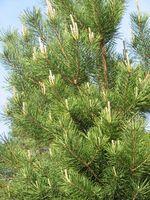 Lo que se puede plantar árboles Bajo Spruce?
