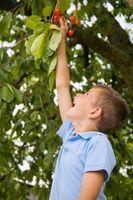 La sustancia pegajosa en una rama de árbol de cerezo
