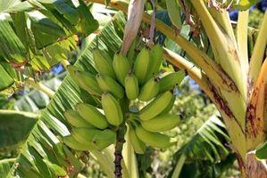 Será un árbol de plátano enano producir frutos?