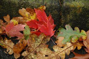 Cómo conservar las hojas de otoño con glicerina